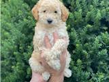 Minyatür erkek poodle yavrumuz