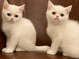 White british shorthair dişi kardeşler
