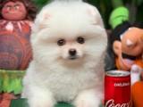 Beyaz Renkte Orjinal Muhteşem Güzellikte Pomeranian Boo Yavru