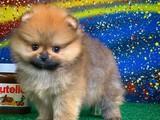 Tecaup midiboy Pomeranian yeni yavru fındık