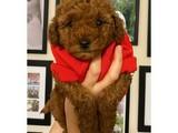 Kusursuz güzellikte red brown toy poodle yavrularımız