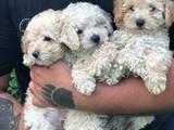 Irk ve sağlık garantili Toy poodle yavrular