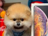 Teddyface surat safkan aileden gelen Pomeranian boo