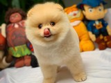 Gülen Surat Pomeranian Boo Oğlumuz Micky