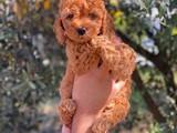 Kızıl red toy poodle yavrumuz