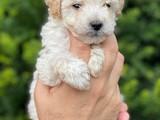 Mini apricot toy poodle erkek bebek