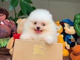 Irk e sağlık garantili Pomeranian boo