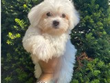 Kar beyaz orjinal maltese terrier yavrularımız