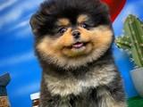 Show Class Ender BlackTan Renk Pomeranian Boo Yavru