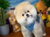 Safkan Irk Garantili Ayıcık Surat Pomeranian Boo