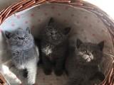 Blue (Gri) british shorthair yavrularımız