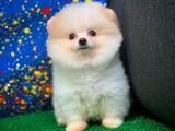 Dünyanın en Gülenyüz sevimli Pomeranian Boo yavrusu