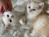 Çift renk bi color british shorthair erkek kardeşler