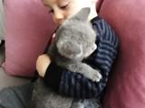 55 günlük british shorthair bebeklerimiz