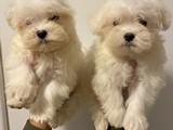 Safkam maltese terrier yavrularımız