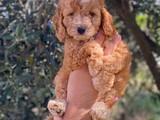 Irk ve sağlık garantili red toy poodle yavrularımız