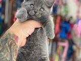 Minik blue british shorthair dişi erkek yavrularımız