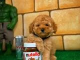 Dünyanın en Şirin Zeki Tatlı Oyuncu Toy Poodle yavrumuz