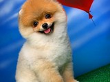 Ayı surat Miniboy Pomeranian boo yavrularımız
