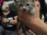 Birtish kedi