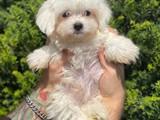 Sağlık ve ırk garantili maltese terrier yavrumuz