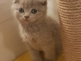 Lilac scottish fold erkek bebeğimiz
