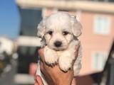 Sevimli Maltese Terrier Yavrularımız Gelmiştir
