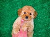Güzeller güzeli çok oyuncu ve sevimli Toy Poodle yavrumuz