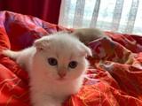 2 aylık scottish fold beyaz renkli kulakları ve kuyruğu sarı yavrumuz