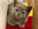 Blue british shorthair erkek yavrumuz