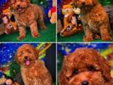 Muhteşem surat yapısına sahip Red toy poodle yavrularımız