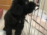 Siyah sevimli poodle yavrumuz