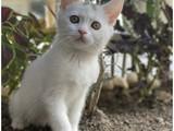 White kar beyaz british shorthair dişi yavrumuz