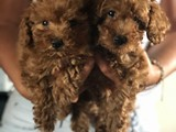 EFSANE RED TOY POODLE