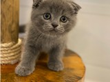 Blue scottish fold yavrumuz