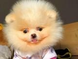 Irk Garantili Minyatür Pomeranian Teddybear Yavruları İçin @Boopatihouse