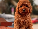 DARK RED TOY POODLE YAVRULAR