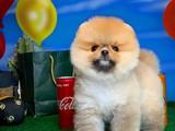 Ender Güzellikte Safkan Pomeranian Boo Yavrumuz