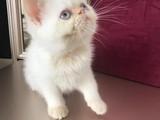 2 aylık Yavu İran kedisi (Erkek)