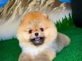 Orjinal renk teddy bear face pomeranian boo yavrumuz