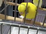 2 tane muhabbet kuşu
