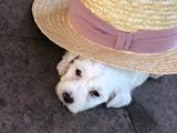 maltese terrier 2 aylık