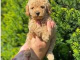 Safkan red toy poodle yakışıklımız