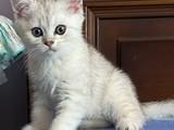 Silver shaded gümüş kürklü british shorthair yavrularımız
