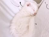 Satılık kedi yavrusu