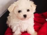 Mini boy maltese terrier yavrularımız