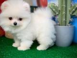 Kar Beyazı Muhteşem Güzellikte Ayıcık Yüz Pomeranian
