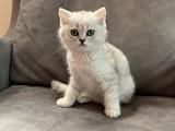Irk ve sağlık garantili Silver british shorthair yavrular