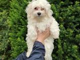3.5 aylık maltese terrier erkek yavrumuz