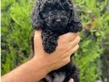 Sevimli siyah toy poodle yavrumuz